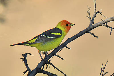 Photograph - Western Tanager by Alan Lenk