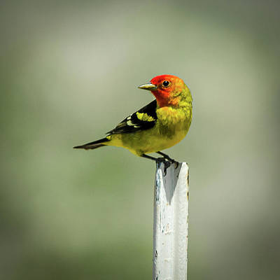 Photograph - Western Tanager At The Ranch by John Brink