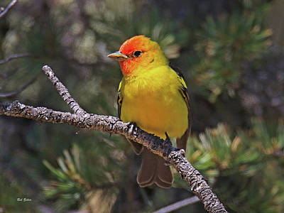 Photograph - Western Tanager by Bob Zeller