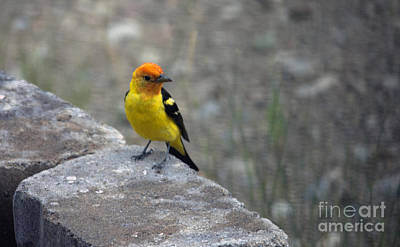 Photograph - Western Tanager by Cindy Murphy - NightVisions