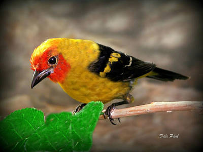 Photograph - Western Tanager by Dale Paul