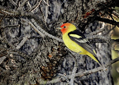 Western Tanager Photograph - Western Tanager by Dawn Key