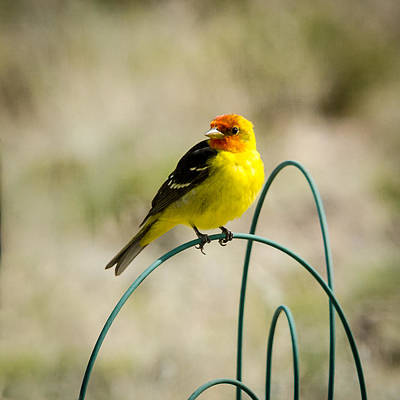 Photograph - Western Tanager by John Brink