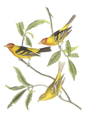 Audubon Painting - Western Tanager by John James Audubon