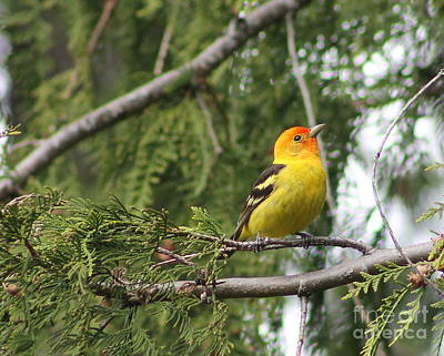 Photograph - Western Tanager by Leone Lund