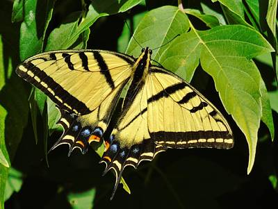 Photograph - Western Tiger Swallowtail Butterfly by Barbara St Jean