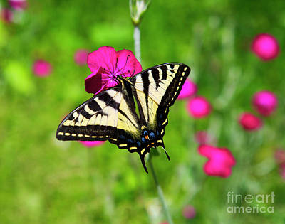 Photograph - Western Tiger Swallowtail Butterfly by Bruce Block