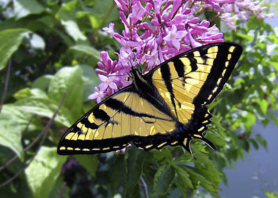 Western Tiger Swallowtail Butterfly Art Print by Daniel Hagerman