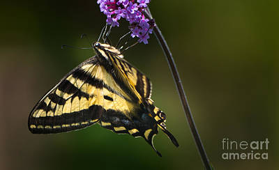 Western Tiger Swallowtail Butterfly On Purble Verbena Art Print