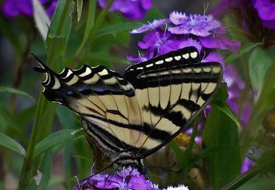 Photograph - Western Tiger Swallowtail Butterfly Side View by Barbara St Jean