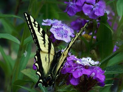 Photograph - Western Tiger Swallowtail Butterfly Wings At 45 by Barbara St Jean