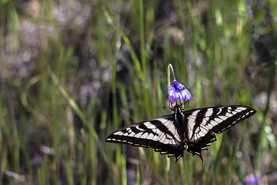 Photograph - Western Tiger Swallowtail by Ed Clark