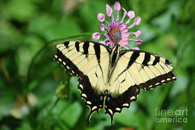 Photograph - Western Tiger Swallowtail by Frank Stallone
