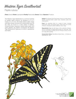 Drawing - Western Tiger Swallowtail Infographic by Marcus England