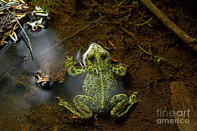 Photograph - Western Toad Submerged by Sharon Talson