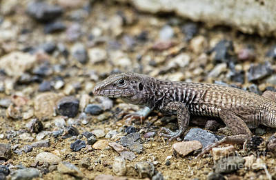 Photograph - Western Whiptail by Robert Bales