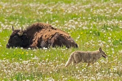 Buffalo Photograph - Western Wildlife by Natural Focal Point Photography