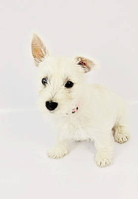 Photograph - Westie by Amanda Stadther