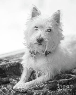 Photograph - Westie Dog In Front Of A Window by Edward Fielding
