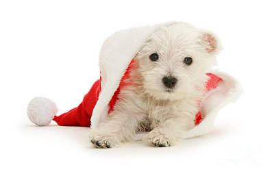 Photograph - Westie Pup In Santa Hat by Warren Photographic