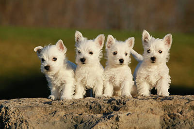 Westies On The Rock Art Print by Celso Mollo Photography