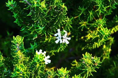 Photograph - Westringia Fruticosa  by Miroslava Jurcik