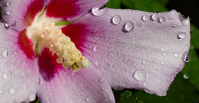 Wet Althea Bloom Art Print by Foto Hysteria