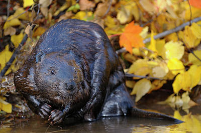 Beaver Photograph - Wet Canadian Beaver Digging At The Edge Of A Stream With Fall Co by Reimar Gaertner