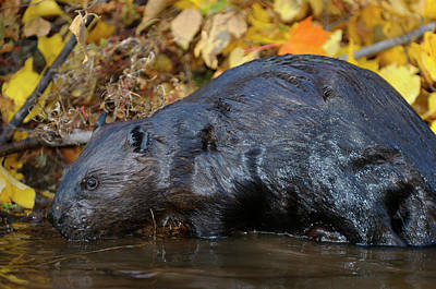 Beaver Photograph - Wet Canadian Beaver Standing At The Edge Of A Stream With Fall C by Reimar Gaertner
