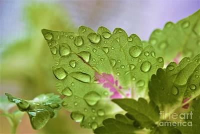 Photograph - Wet Coleus by Patti Whitten