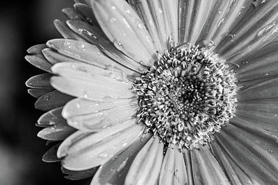 Photograph - Wet Daisy In Monochrome by SR Green