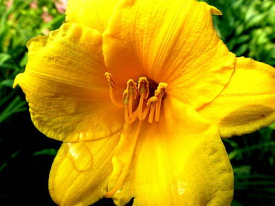 Photograph - Wet Daylily by Beth Akerman