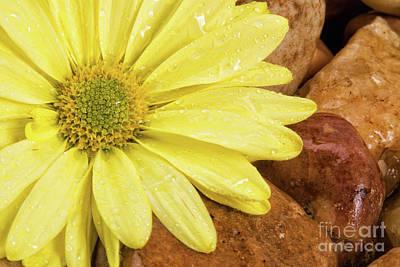 Photograph - Wet Gerbera Daisy Flower And River Rocks by Vizual Studio