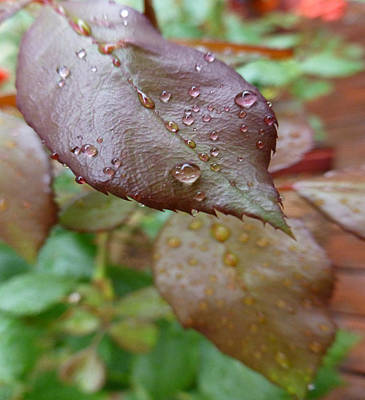 Photograph - Wet Leaves by Claudia Goodell