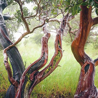 Photograph - Wet Old-growth Manzanita by Alexander Kunz