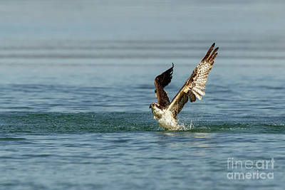 Photograph - Wet Osprey by Beve Brown-Clark Photography