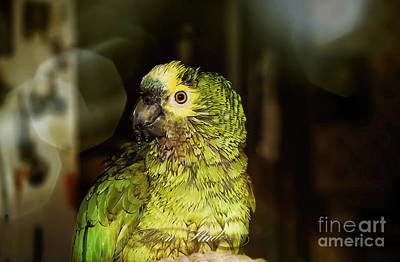 Photograph - Wet Parrot by Melissa Messick