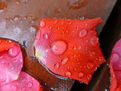 Photograph - Wet Petal 1 by Claudia Goodell