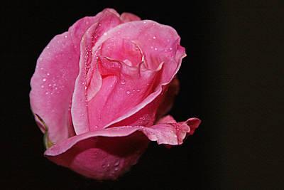 Photograph - Wet Pink Rose by Jennifer Muller