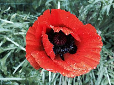 Photograph - Wet Poppy by Orphelia Aristal