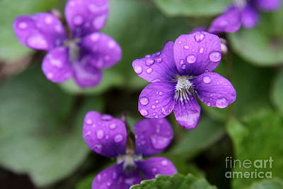 Photograph - Wet Purple Violets by Chris Hill