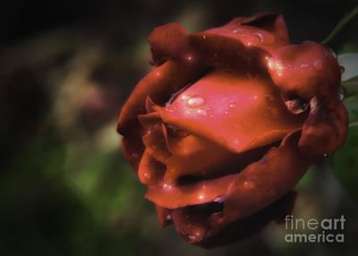 Wet Red Rose Art Print