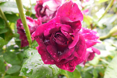 Photograph - Wet Rose by Captain Debbie Ritter