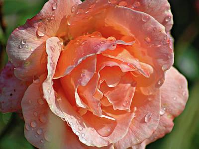 Wet Rose Art Print by Graham Taylor