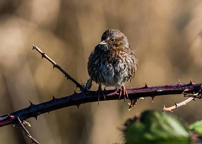 Photograph - Wet Song Sparrow by Robert Potts
