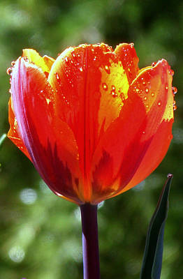 Wet Tulip Art Print by Rona Black
