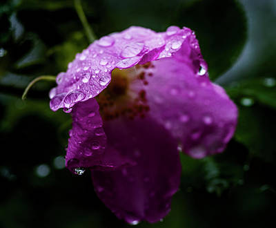 Print featuring the photograph Wet Wild Rose by Darcy Michaelchuk