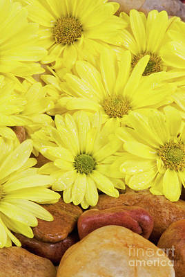 Photograph - Wet Yellow Daisy Flowers And Rocks by Vizual Studio