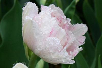 Photograph - Wet Young Peony by Polly Castor
