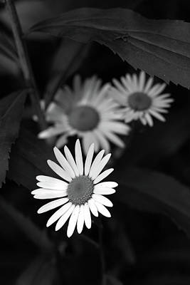 Photograph - Wetland Daisies Bw by Mary Bedy